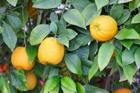 Limoni 2 pixabay.jpg