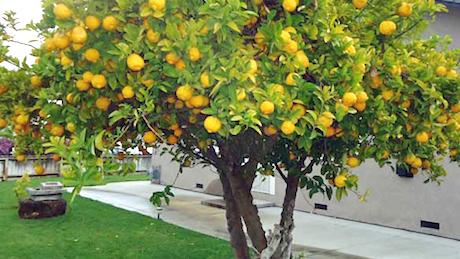 Sicilia albero di limone