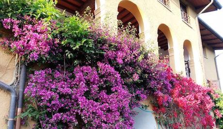 Sicilia bugenville