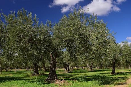 Sicilia giardino olive pixabay.jpg