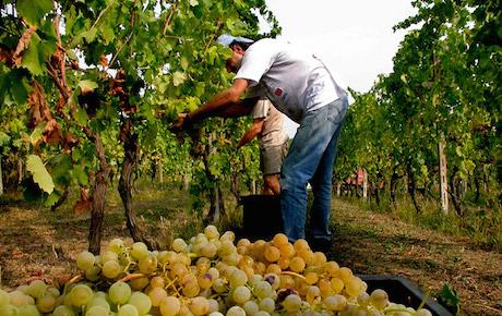 Вендеммья: сбор винограда, который станетвином