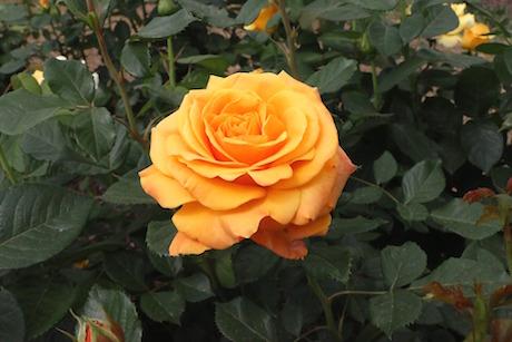 rosa pixabay.jpg
